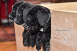 3 Black Puppies looking out of their box