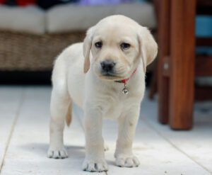 Daisy, one of our D Generation Puppies standing looking at the camera